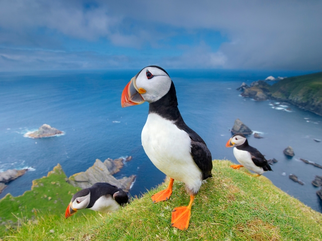 Three puffins - drie papegaaiduikers